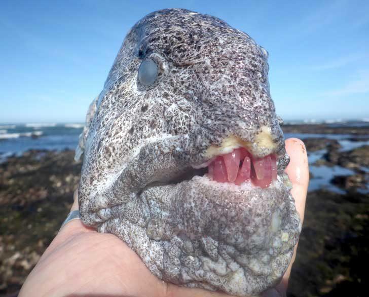 Вълчата змиорка се храни с червени морски таралежи, които правят зъбите ѝ да изглеждат, като направени от розов кварц
