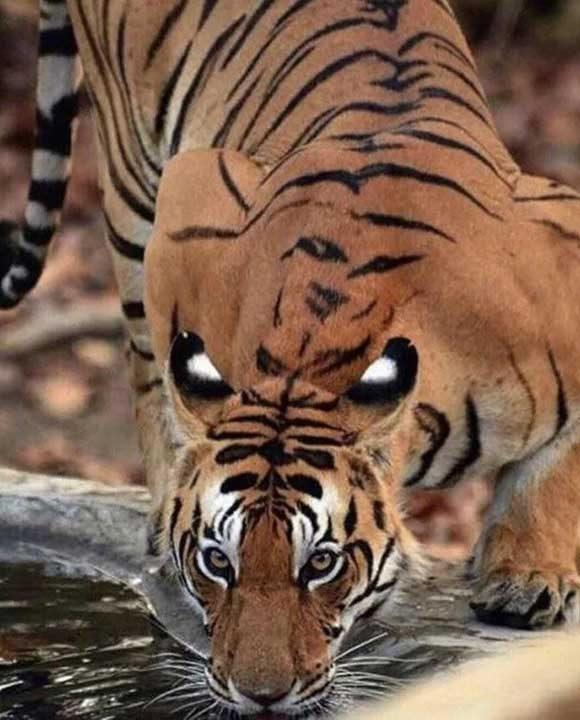 Колко очи има този тигър?