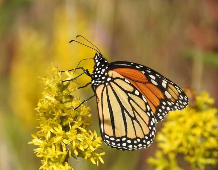 Пеперудите усещат вкусове с краката си