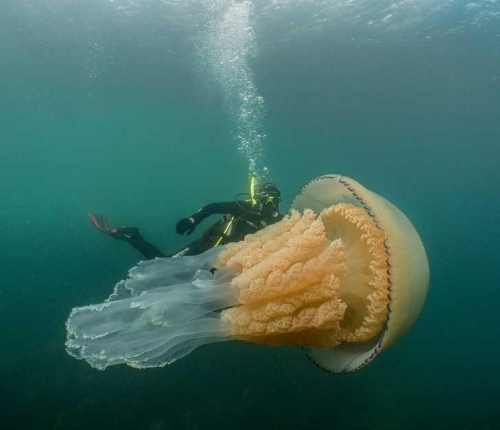 Огромна медуза с размерите на човек
