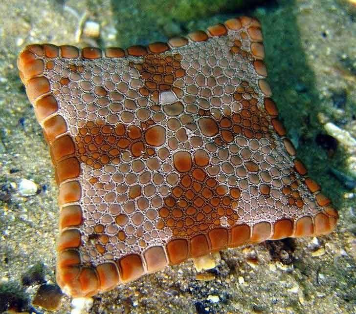 Квадратна морска звезда