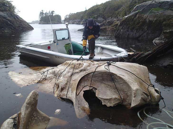 Череп на син кит, измит от водите до бреговете на Канада