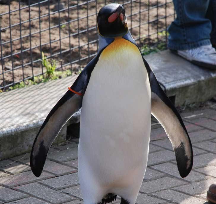В Норвегия се е случвало да положат в рицарство пингвинг