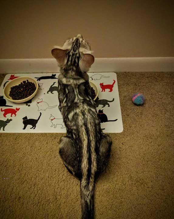 Коте-войн с шарка на меч върху гърба си