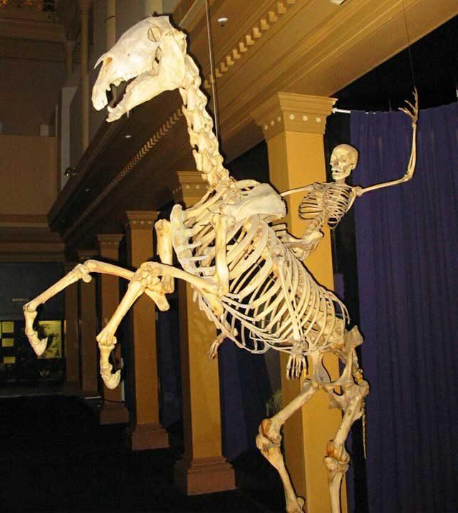 Човешки скелет, яздещ конски скелет
