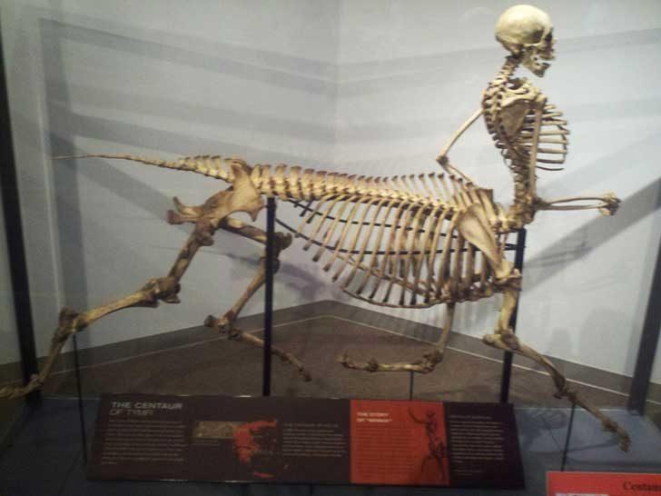 Скелет на кентавър, изложен в музей на дивата природа