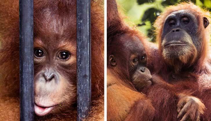 Популацията на примати намалява и на все повече индивиди се налага да живеят в плен, за да се гарантира оцеляването им