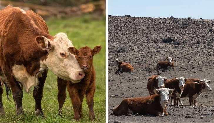 Засоляването на почвите и липсата на дъжда засягат животните, които са поминък на милиони семейства
