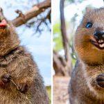 Това е куока - най-щастливото животно в света