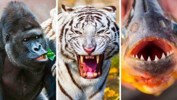 Топ 16 на животните с най-силна захапка на планетата