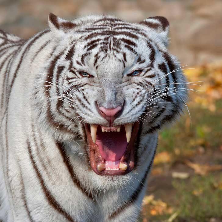 Бенгалски тигър - 47 кг/см2