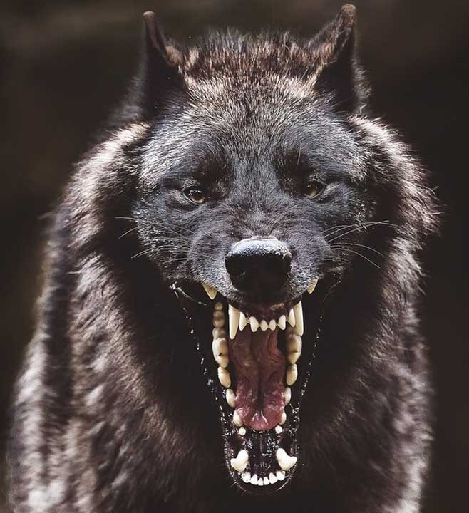 Сив вълк - 28 кг/см2