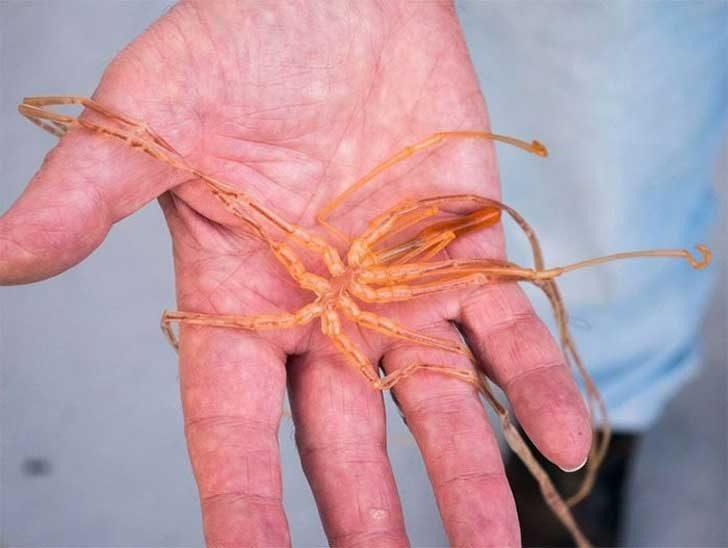 Морски паяк