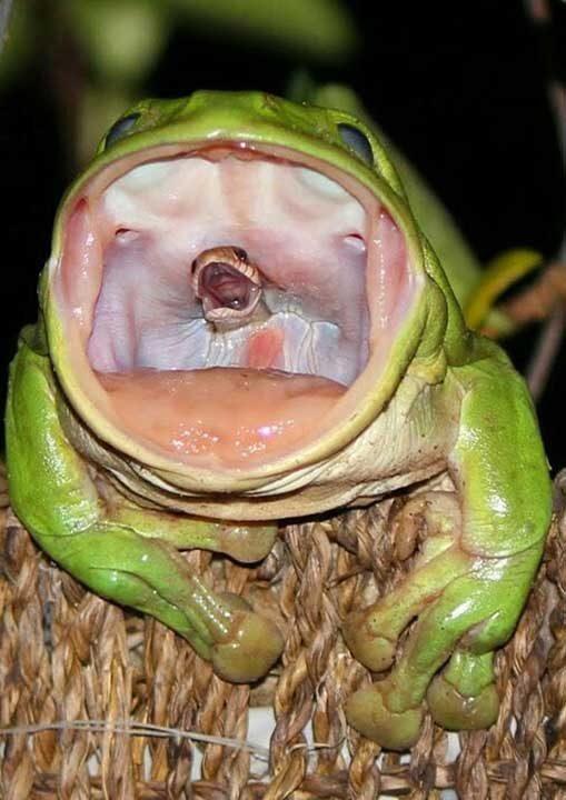 Жабите ядат змии в Австралия