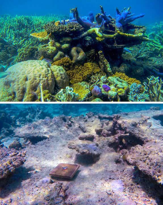 Климатичните промени предизвикаха спад от 89% на новите корали в Големия бариерен риф