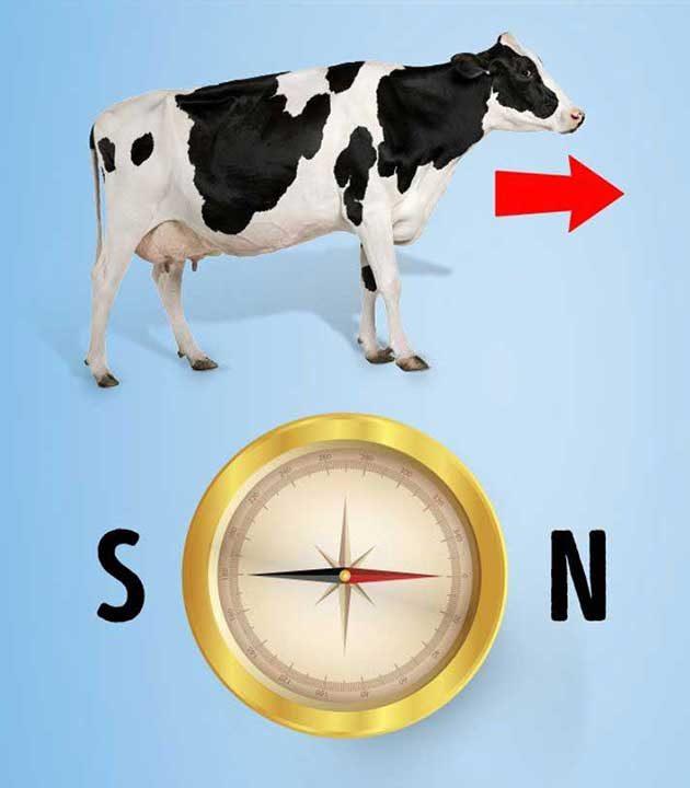 Имат ли кравите магнитен компас?