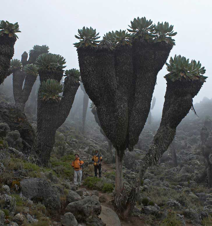 Тези гигантски растения могат да бъдат намерени само в планината Килиманджаро в Африка
