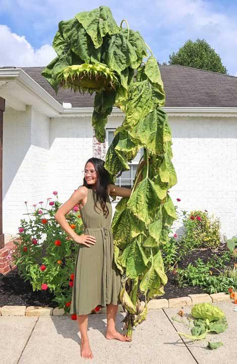 Какви грижи е положила тази жена, за да отгледа слънчоглед с такива размери?...