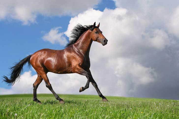 Тракененски кон