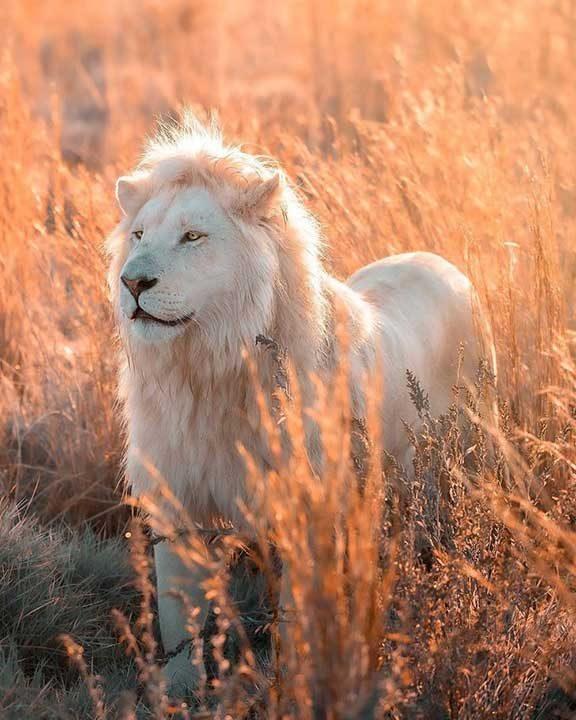 Красотата на белия лъв, увековечена в снимки от всеки ъгъл