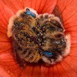 Фотограф заснема двойка спящи пчели, сгушили се удобно в цвете